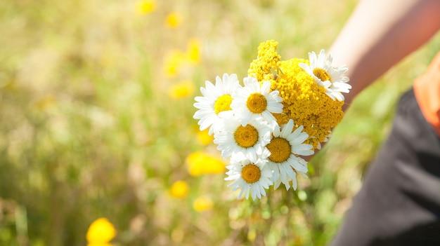 Mão segurando camomila no campo. horário de verão