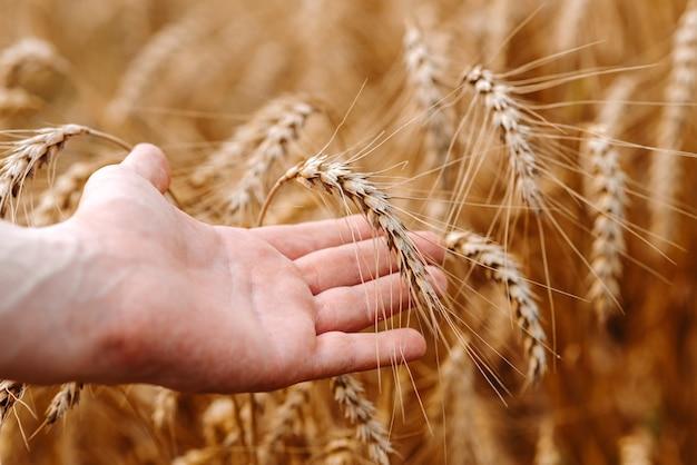 Mão segurando espigas de trigo