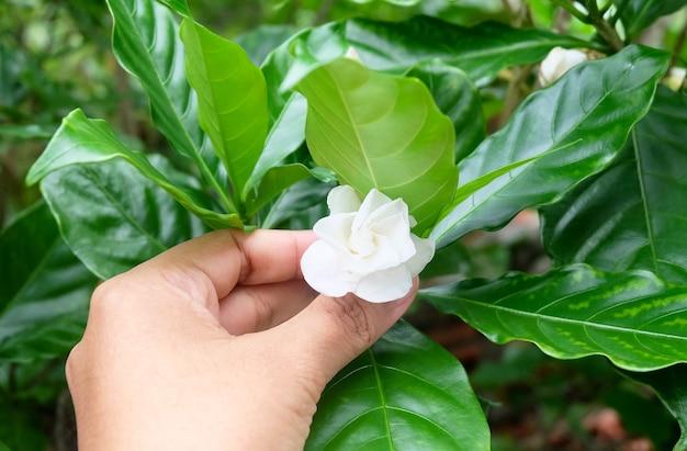 Mão segurando flores frescas de jasmim branco