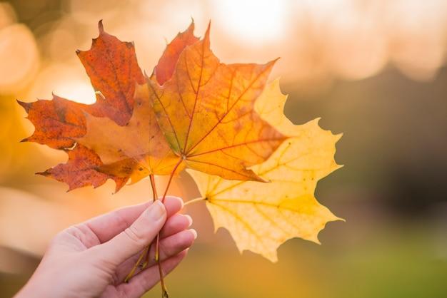 Mão segurando folhas de bordo amarelas no fundo ensolarado de outono. mão segurando a folha de bordo amarela um fundo borrado de árvores de outono. conceito da unidade. foco seletivo.