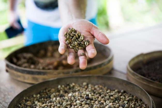 Mão segurando grãos de café cru kopi luwak na fazenda de café