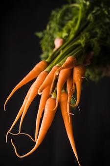 Mão, segurando, grupo, cenouras