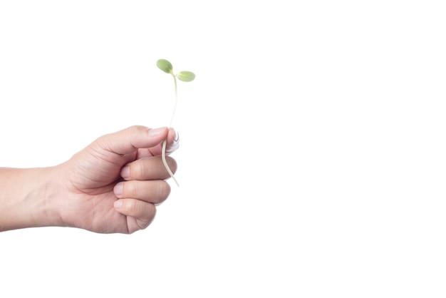 Mão segurando o broto de girassol jovem verde fresco para fazer comida