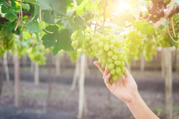Mão segurando o cacho de uvas verdes frescas, pendurado em um arbusto, damnoen saduk, província de ratchaburi. tailandês