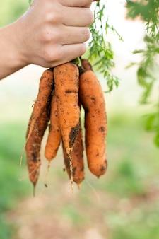 Mão segurando o monte de cenouras no jardim