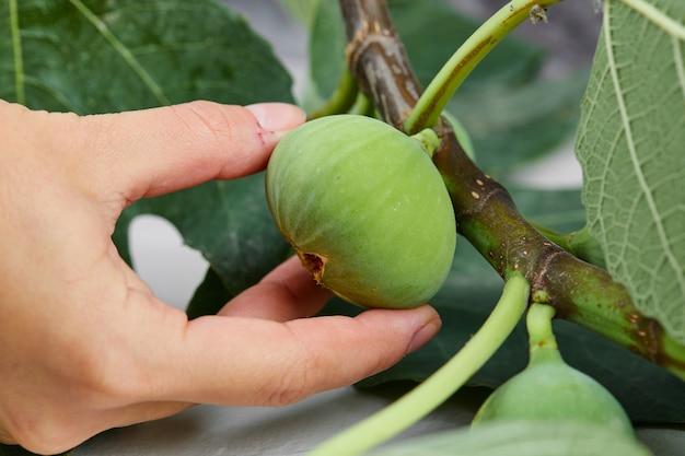 Mão segurando um figo rasgado da árvore.