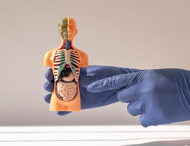 Mão segurando um modelo humano com sistema de anatomia do sistema de órgãos internos