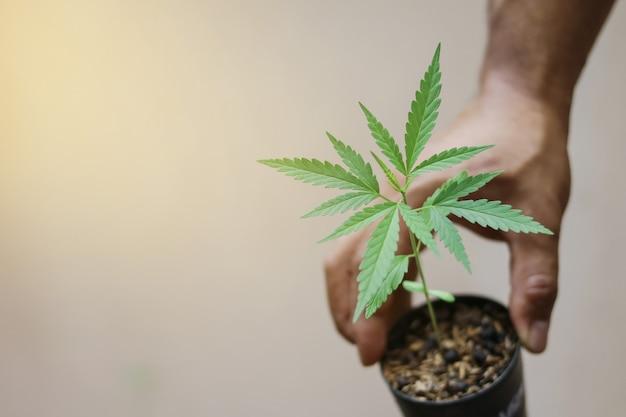 Mão segurando um pequeno broto de cânhamo verde na panela