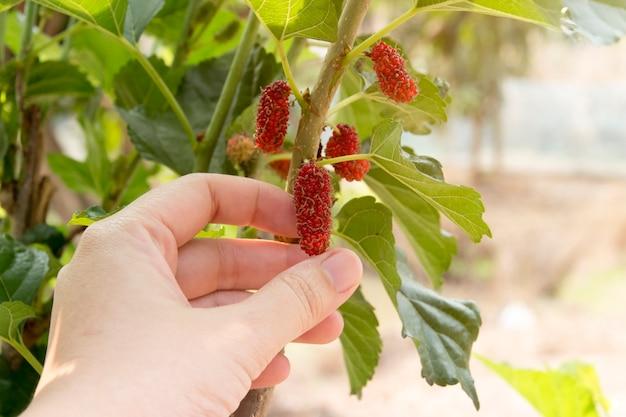Mão, segurar, fresco, maduro, pretas, e, vermelho, amora, em, mulberries, jardim