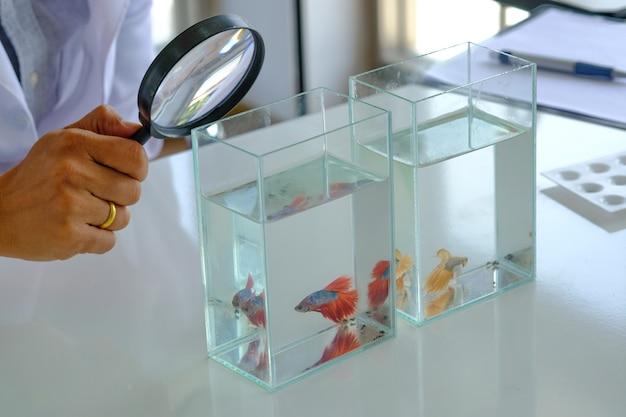 Mão segure a lupa, analisando o laboratório de luta de tabela de testes de peixe vermelho bonito.