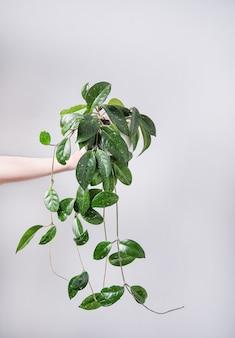 Mão segure a planta de soja em um vaso em um fundo cinza