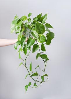 Mão segure scindapsus planta doméstica em um vaso em um fundo cinza
