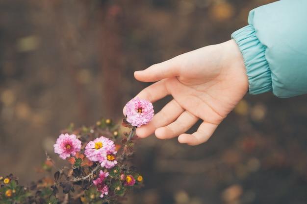 Mão toca flores de outono.