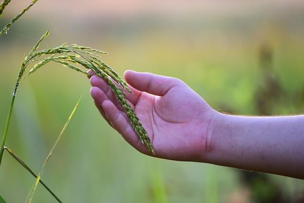 Mão tocando com carinho o arroz jovem no arrozal com luz solar.