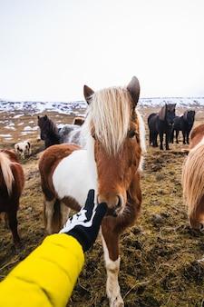 Mão tocando um pônei shetland cercado por cavalos e vegetação com um fundo desfocado