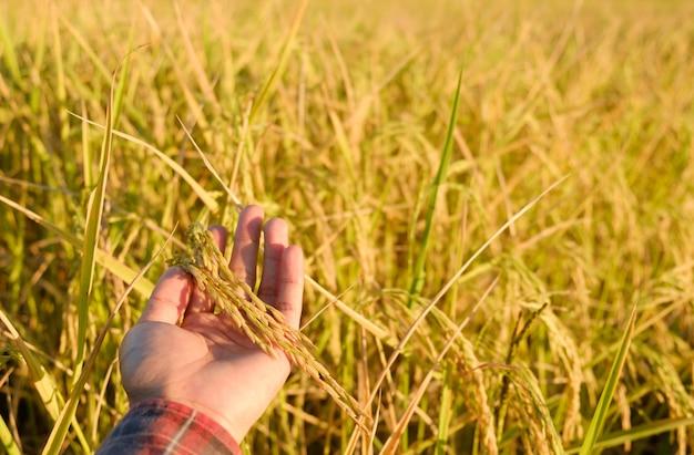 Mão tocar as orelhas na fazenda, arroz seco no campo