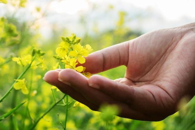 Mão toque amarelo brassica napus flor