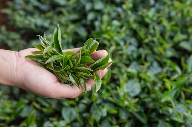 Mãos asiáticas da mulher da máquina desbastadora do chá - ascendente próximo, menina bonita da colheita de chá na plantação.