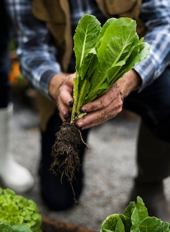 Mãos, colheita, orgânica, fresco, agrícola, alface