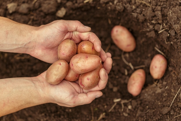 Mãos, colher, fresco, orgânica, batatas, de, solo