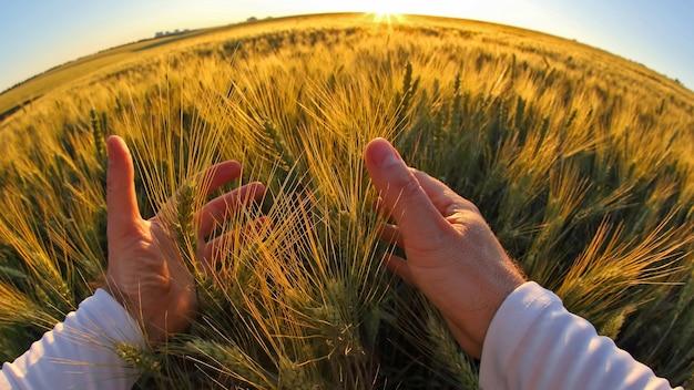 Mãos com espigas de trigo contra o sol poente. a relação do homem com a natureza.