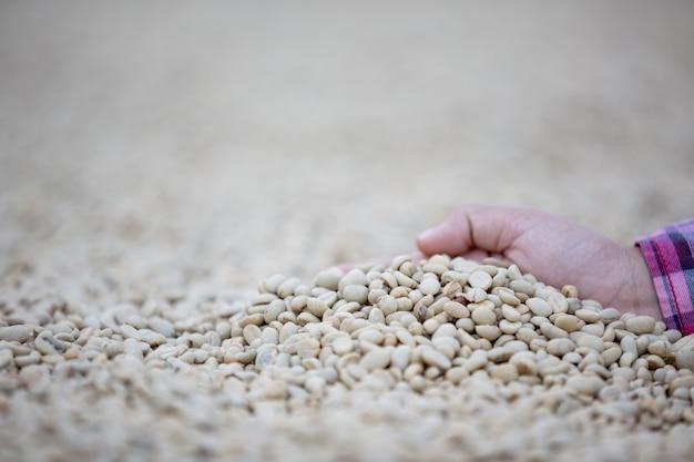 Mãos com grãos de café em grãos de café que são secos