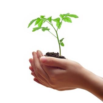 Mãos criança, segurando, solo, montão, com, tomate, seedling