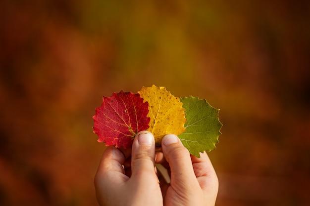 Mãos da criança que guardam três folhas de outono coloridas. outono.