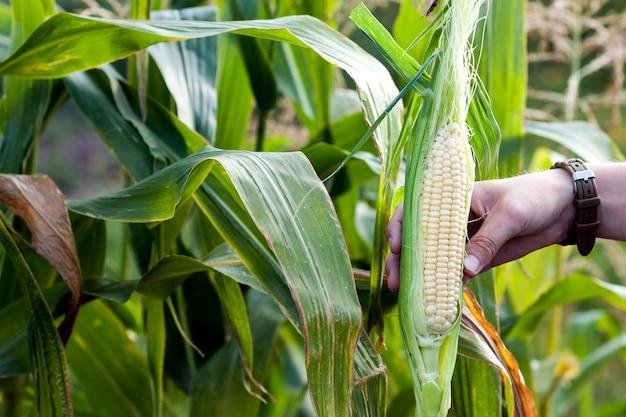Mãos da mulher do fazendeiro que guardam o milho verde fresco no campo de milho.