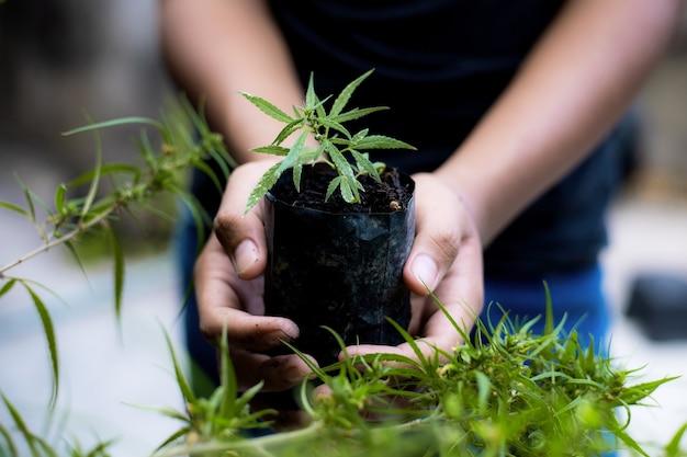 Mãos de agricultor detém planta de cannabis bebê na fazenda.