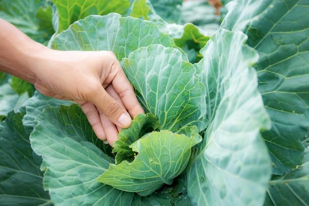 Mãos de agricultores com folhas de repolho na trama.