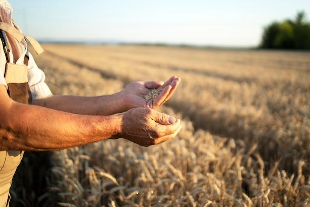 Mãos de agricultores e safras de trigo no campo