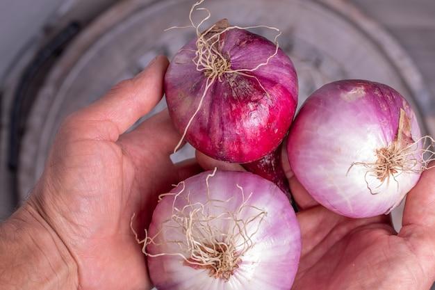 Mãos de agricultores segurando cebolas roxas da nova temporada.