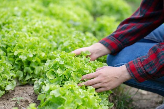 Mãos de close-up, escolhendo a planta de alface fresca verde na horta,
