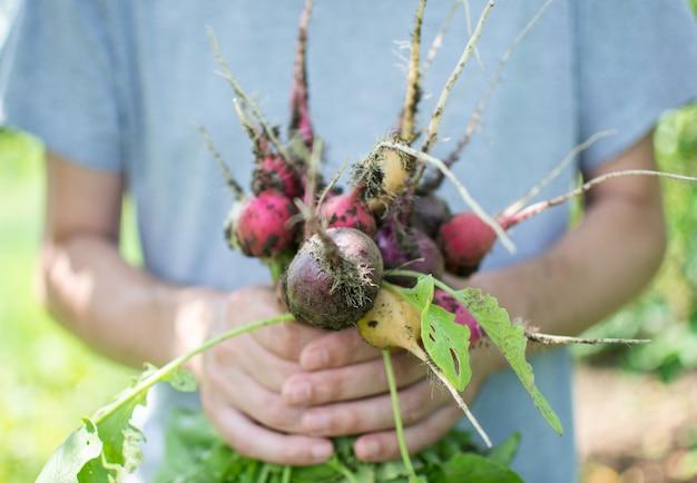 Mãos de fazendeiro com um ramo orgânico fresco de rabanete multicolorido