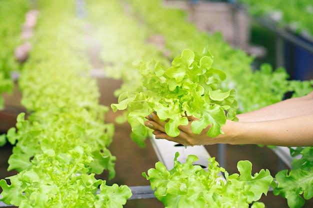 Mãos de fazendeiro segurando vegetais frescos de hidroponia