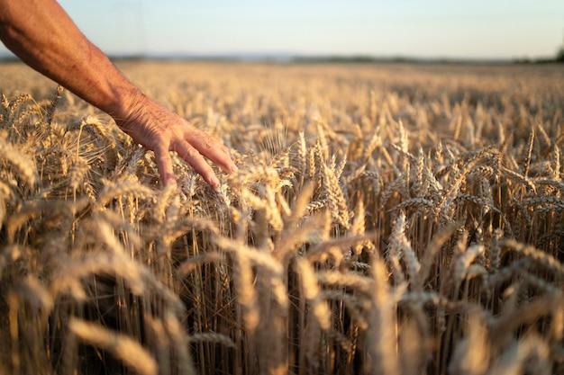Mãos de fazendeiros passando por safras no campo de trigo ao pôr do sol