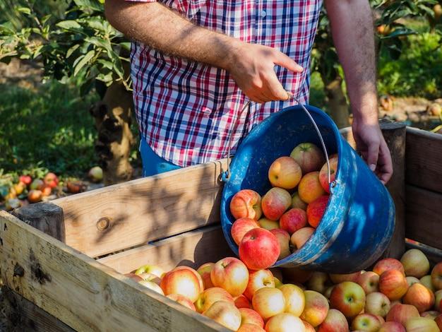 Mãos de homem na colheita de maçãs vermelhas