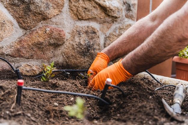 Mãos de homens jardineiro plantar mudas de tomate quintal no jardim