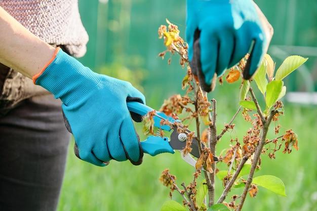 Mãos de jardineiro com tesouras de podar, cortando galhos secos da árvore de fruta jovem