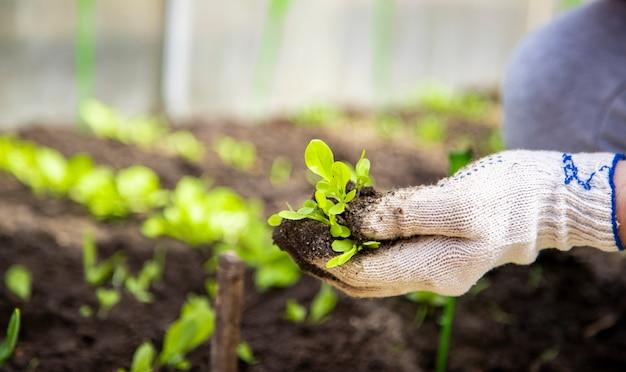 Mãos de jardineiro em luvas domésticas planta mudas de brotos de plantas jovens em estufa