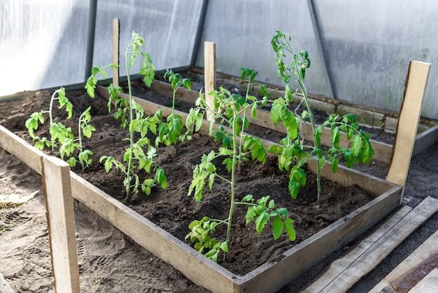 Mãos de jardineiro plantando uma muda de tomate no solo.