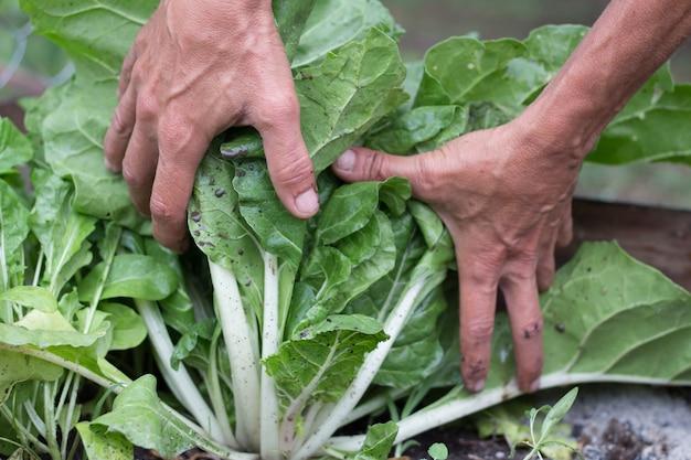Mãos de mulher colhendo acelga no jardim