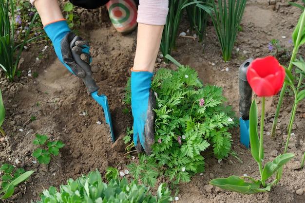 Mãos de mulher com ferramentas de jardim, trabalhando com o solo e cultivando dicentra spectabilis flor de coração sangrando