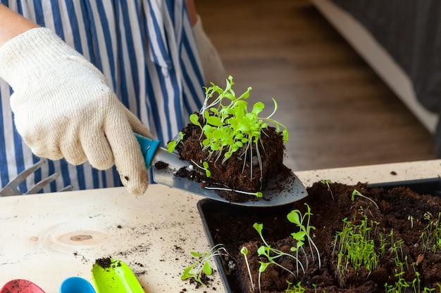 Mãos de mulher plantando brotos em panela com sujeira ou solo em recipiente