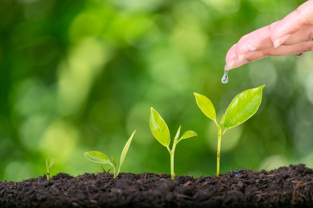 Mãos de mulher, plantando e molhando uma planta verde jovem