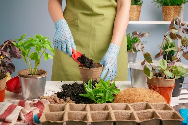 Mãos de mulher transplantando planta um em um novo pote