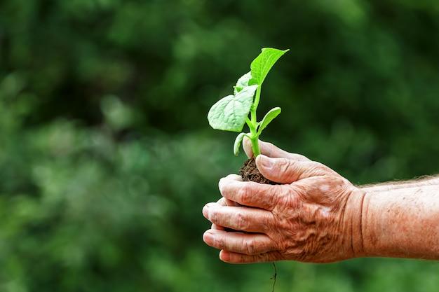 Mãos de um homem velho, segurando uma planta jovem verde.