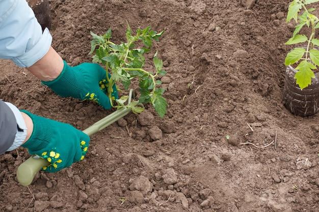 Mãos de uma jardineira em luvas plantando uma muda de tomate no solo do jardim