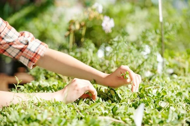 Mãos de uma jovem agricultora ou trabalhadora de uma estufa cuidando do cultivo de plantas verdes ou mudas ao tocar em uma delas